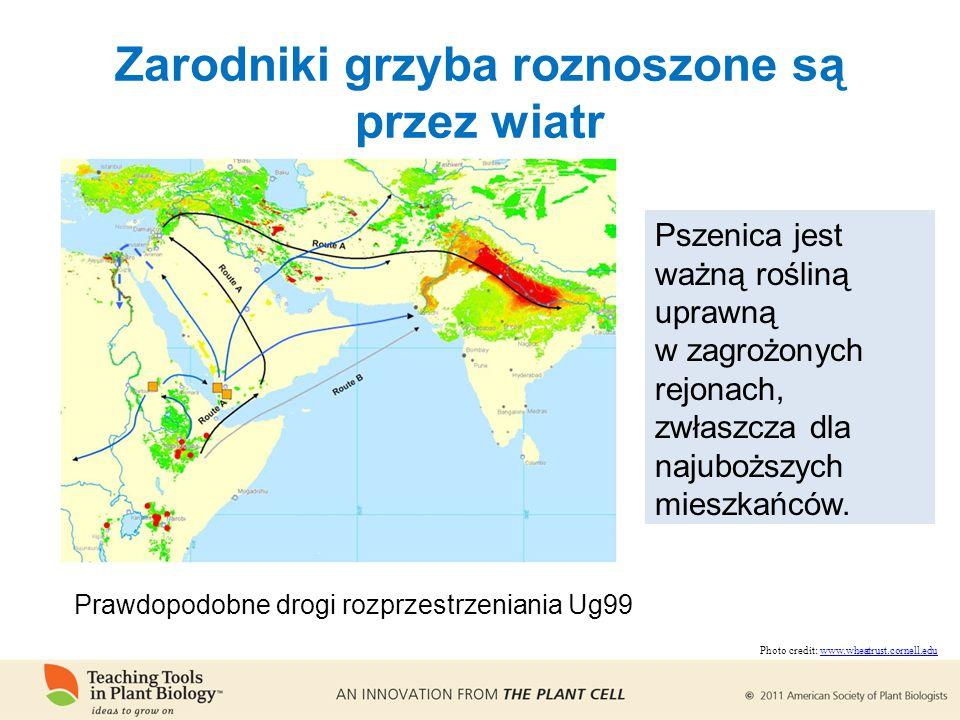 Zarodniki grzyba roznoszone są przez wiatr Pszenica jest ważną rośliną uprawną w zagrożonych rejonach, zwłaszcza dla najuboższych mieszkańców.
