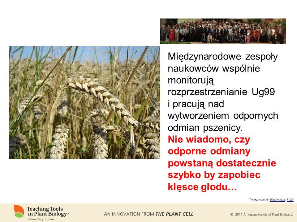 Międzynarodowe zespoły naukowców wspólnie monitorują rozprzestrzenianie Ug99 i pracują nad wytworzeniem odpornych odmian pszenicy.