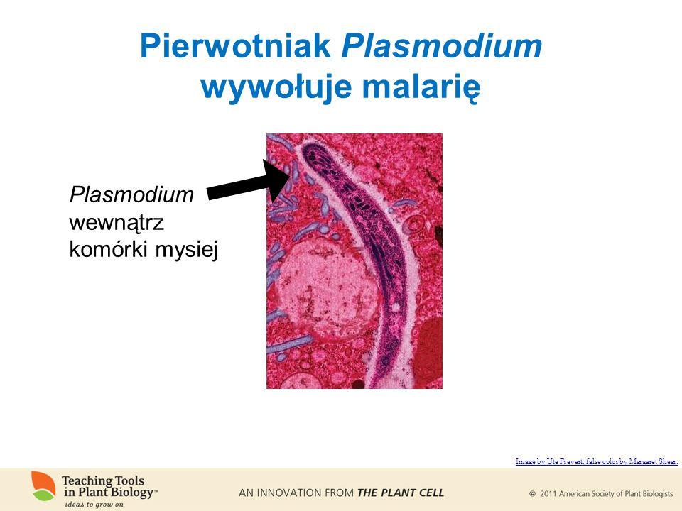 Pierwotniak Plasmodium wywołuje malarię Plasmodium wewnątrz komórki mysiej Image by Ute Frevert; false color by Margaret Shear.