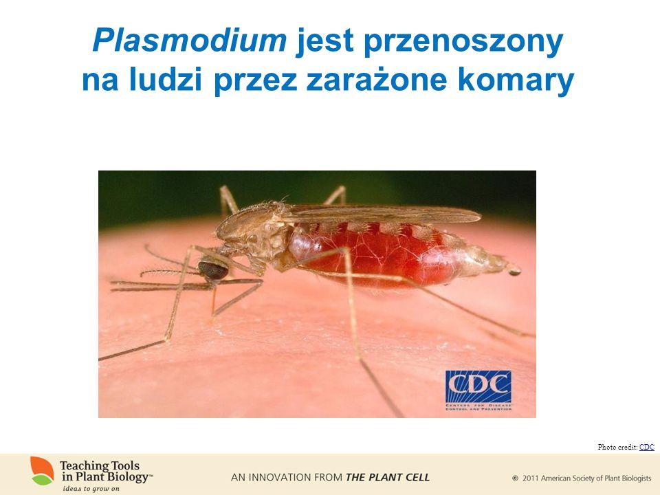 Plasmodium jest przenoszony na ludzi przez zarażone komary Photo credit: CDCCDC