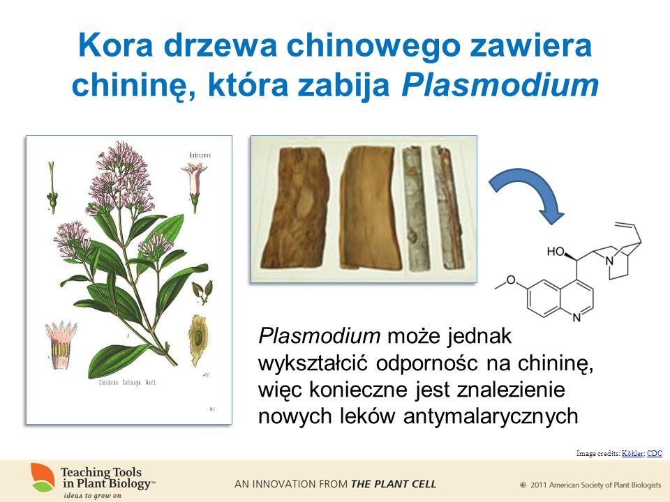 Plasmodium może jednak wykształcić odpornośc na chininę, więc konieczne jest znalezienie nowych leków antymalarycznych Image credits: Köhler; CDCKöhlerCDC Kora drzewa chinowego zawiera chininę, która zabija Plasmodium