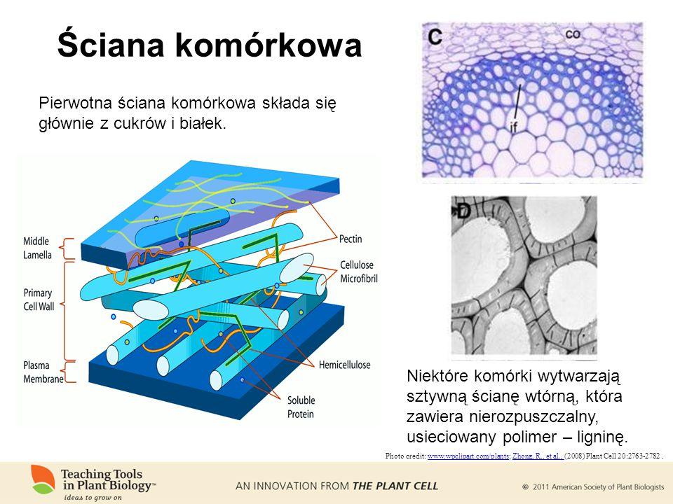 Ściana komórkowa Photo credit: www.wpclipart.com/plants; Zhong, R., et al., (2008) Plant Cell 20:2763-2782.www.wpclipart.com/plantsZhong, R., et al., Pierwotna ściana komórkowa składa się głównie z cukrów i białek.