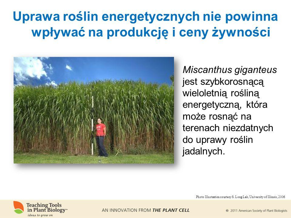 Uprawa roślin energetycznych nie powinna wpływać na produkcję i ceny żywności Miscanthus giganteus jest szybkorosnącą wieloletnią rośliną energetyczną, która może rosnąć na terenach niezdatnych do uprawy roślin jadalnych.