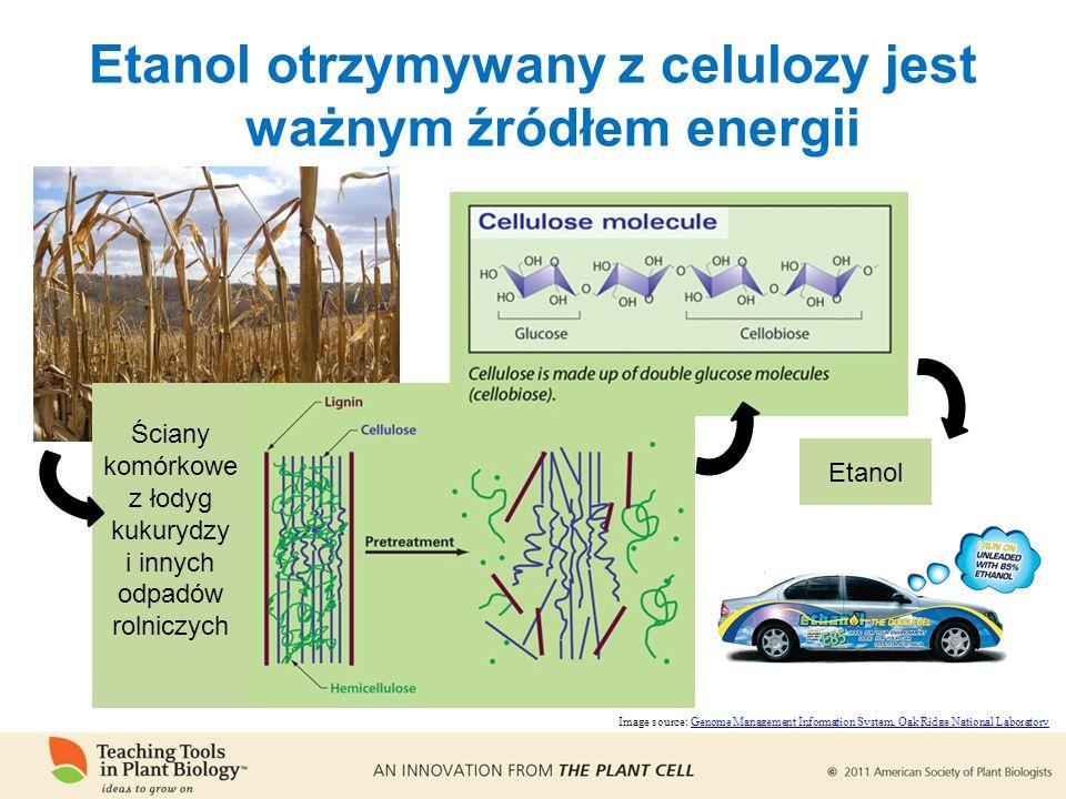 Etanol otrzymywany z celulozy jest ważnym źródłem energii Ściany komórkowe z łodyg kukurydzy i innych odpadów rolniczych Etanol Image source: Genome Management Information System, Oak Ridge National LaboratoryGenome Management Information System, Oak Ridge National Laboratory
