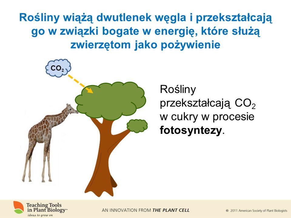 Rośliny wiążą dwutlenek węgla i przekształcają go w związki bogate w energię, które służą zwierzętom jako pożywienie CO 2 Rośliny przekształcają CO 2 w cukry w procesie fotosyntezy.