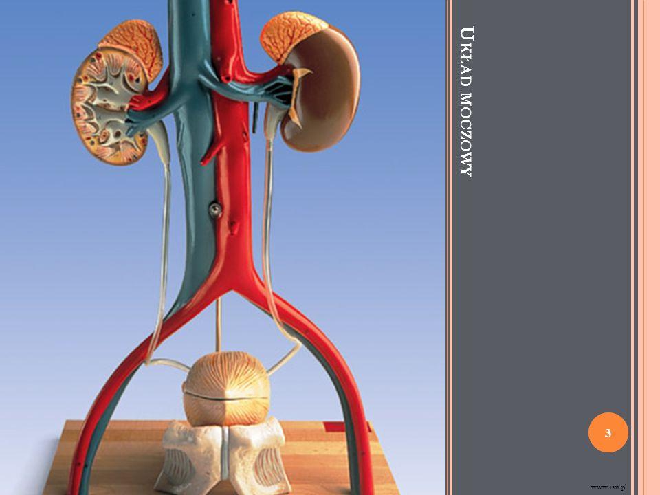 (1) piramida nerkowa (2) tętnica międzypłatowa (3) tętnica nerkowa (4) żyła nerkowa (5) wnęka nerki (6) miedniczka nerkowa (7) moczowód (8) kielich mniejszy (9) torebka włóknista (10) biegun dolny nerki (11) biegun górny nerki (12) żyła międzypłatowa (13) nefron (14) zatoka nerkowa (15) kielich większy (16) brodawka nerkowa (17) słupy nerkowe www.pl.wikipedia.org 4