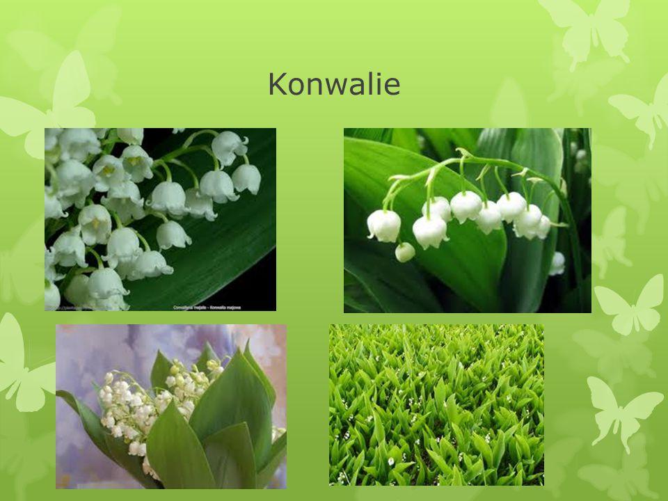 Konwalie