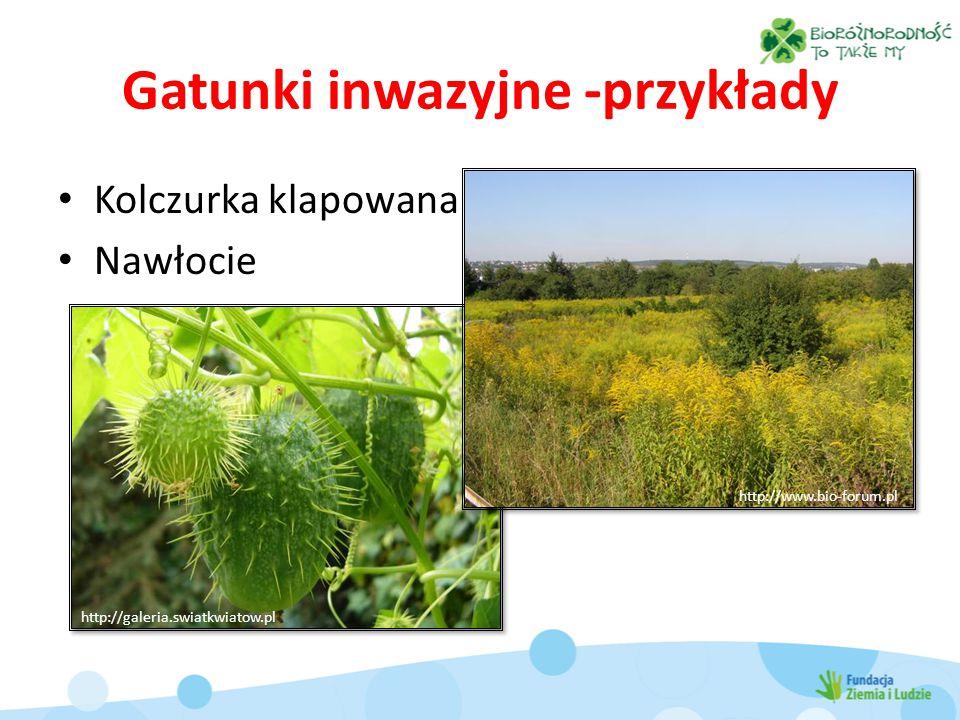 Gatunki inwazyjne -przykłady Kolczurka klapowana Nawłocie http://galeria.swiatkwiatow.pl http://www.bio-forum.pl