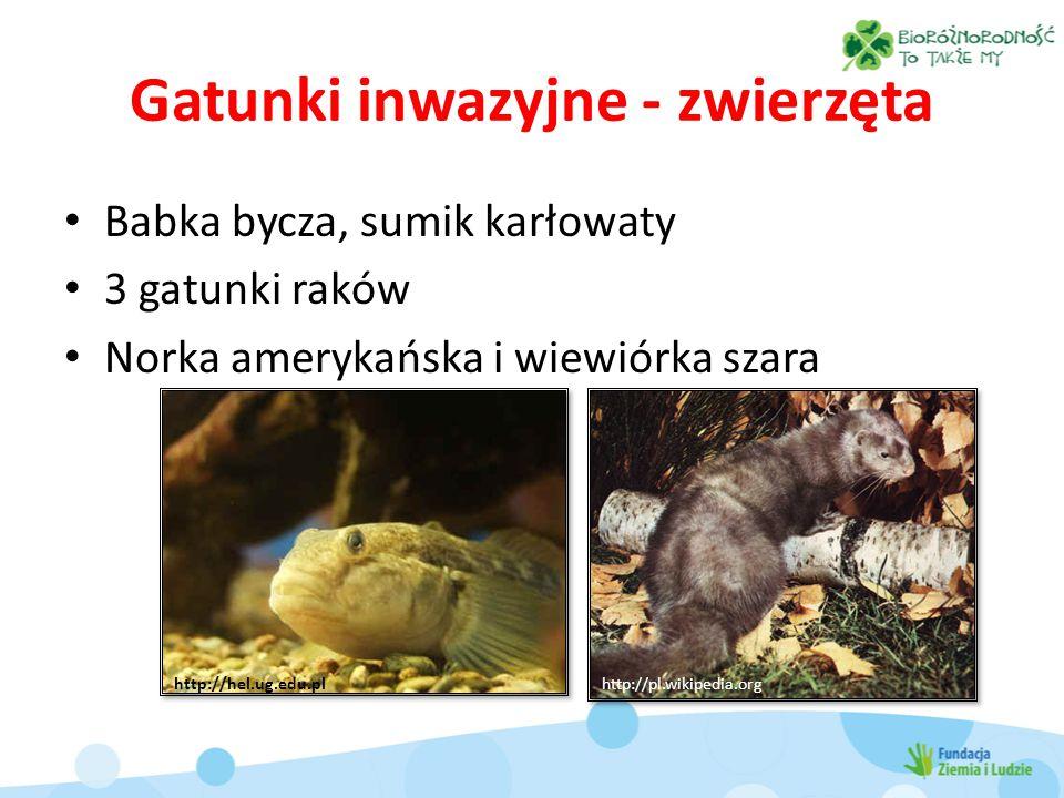 Gatunki inwazyjne - zwierzęta Babka bycza, sumik karłowaty 3 gatunki raków Norka amerykańska i wiewiórka szara http://hel.ug.edu.plhttp://pl.wikipedia.org
