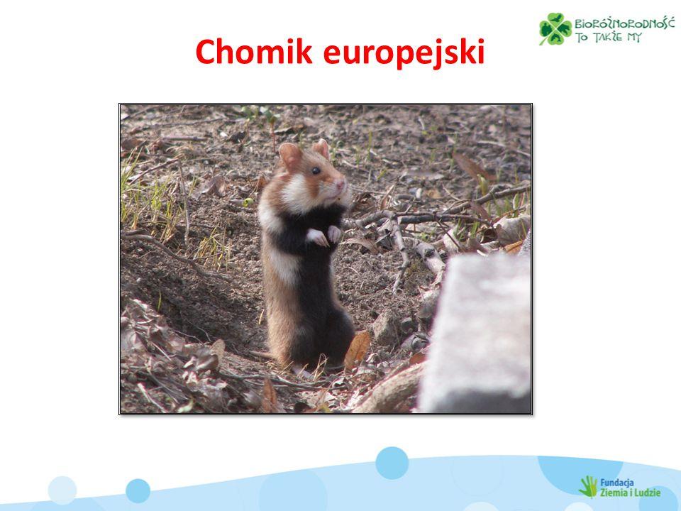 Chomik europejski