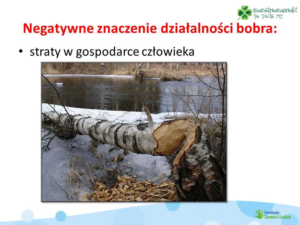 Negatywne znaczenie działalności bobra: straty w gospodarce człowieka