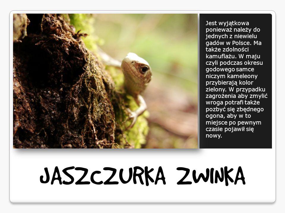 Jest wyjątkowa ponieważ należy do jednych z niewielu gadów w Polsce.