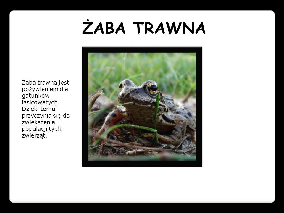 ŻABA TRAWNA Żaba trawna jest pożywieniem dla gatunków łasicowatych. Dzięki temu przyczynia się do zwiększenia populacji tych zwierząt.