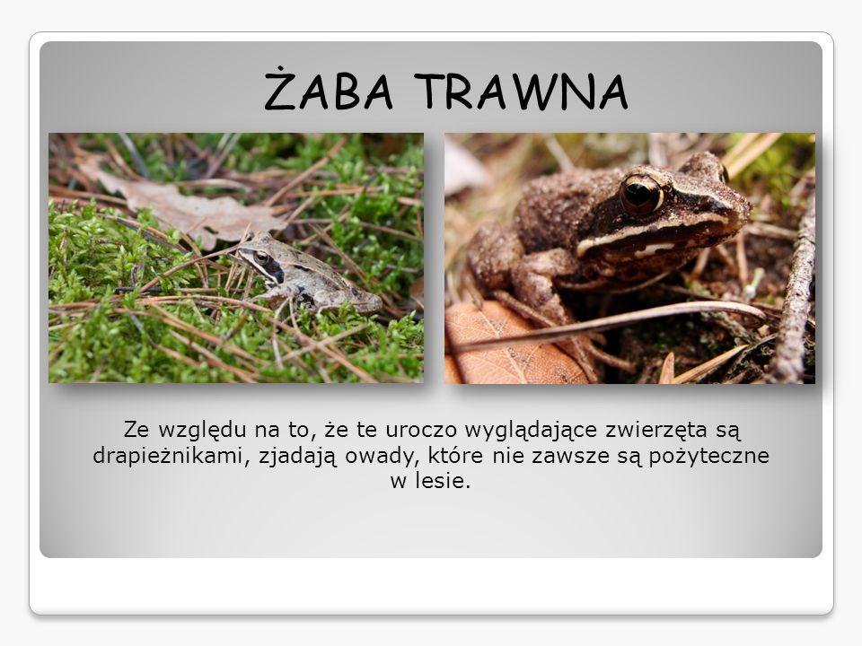 ŻABA TRAWNA Ze względu na to, że te uroczo wyglądające zwierzęta są drapieżnikami, zjadają owady, które nie zawsze są pożyteczne w lesie.