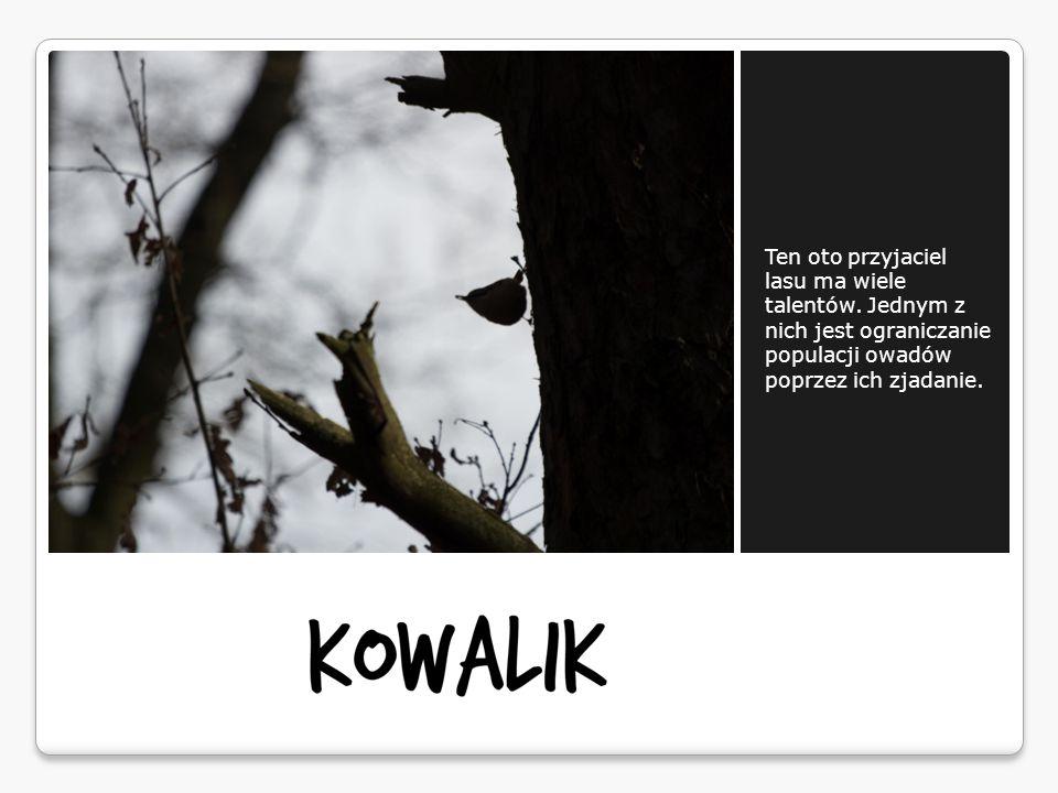 Ten oto przyjaciel lasu ma wiele talentów. Jednym z nich jest ograniczanie populacji owadów poprzez ich zjadanie.