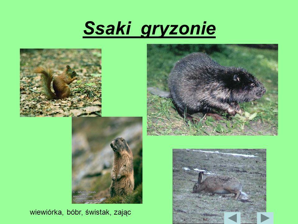 Ssaki gryzonie wiewiórka, bóbr, świstak, zając