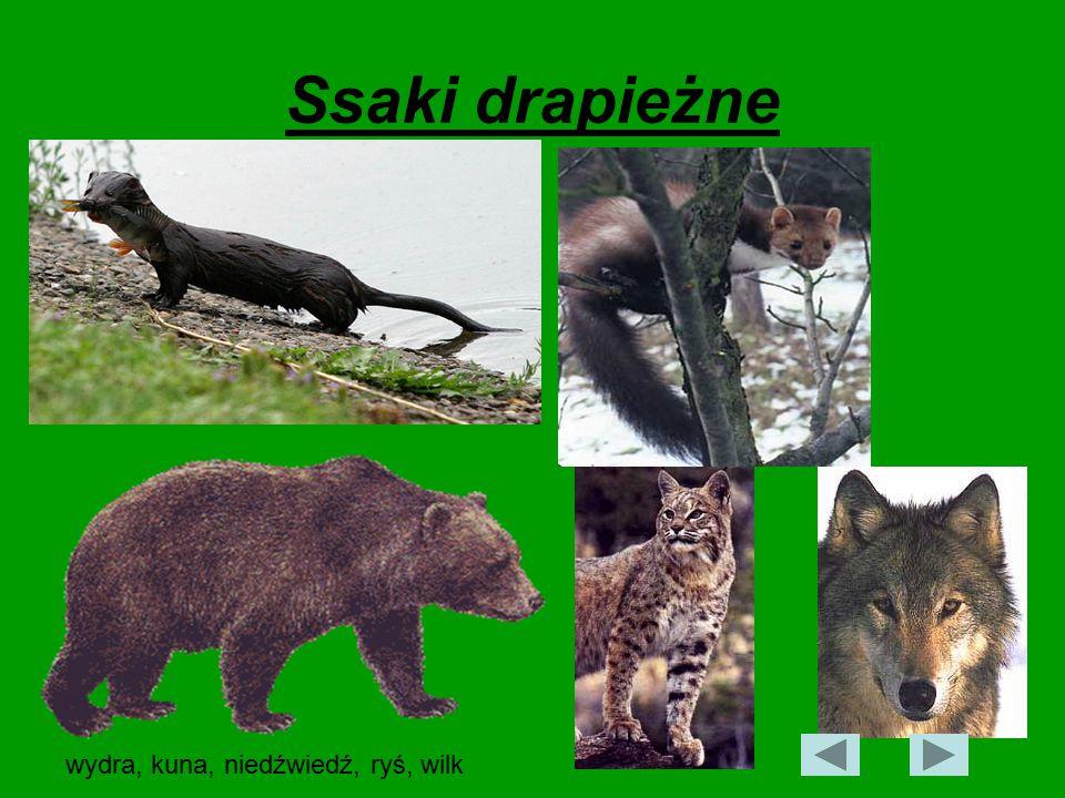 Ssaki drapieżne wydra, kuna, niedźwiedź, ryś, wilk