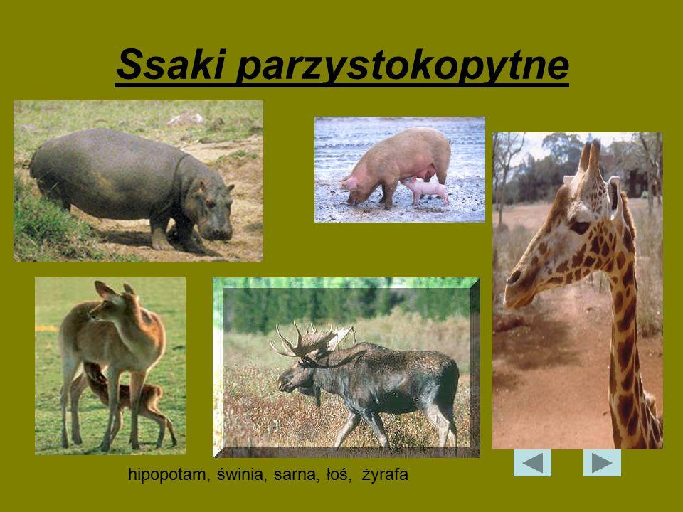 Ssaki parzystokopytne hipopotam, świnia, sarna, łoś, żyrafa