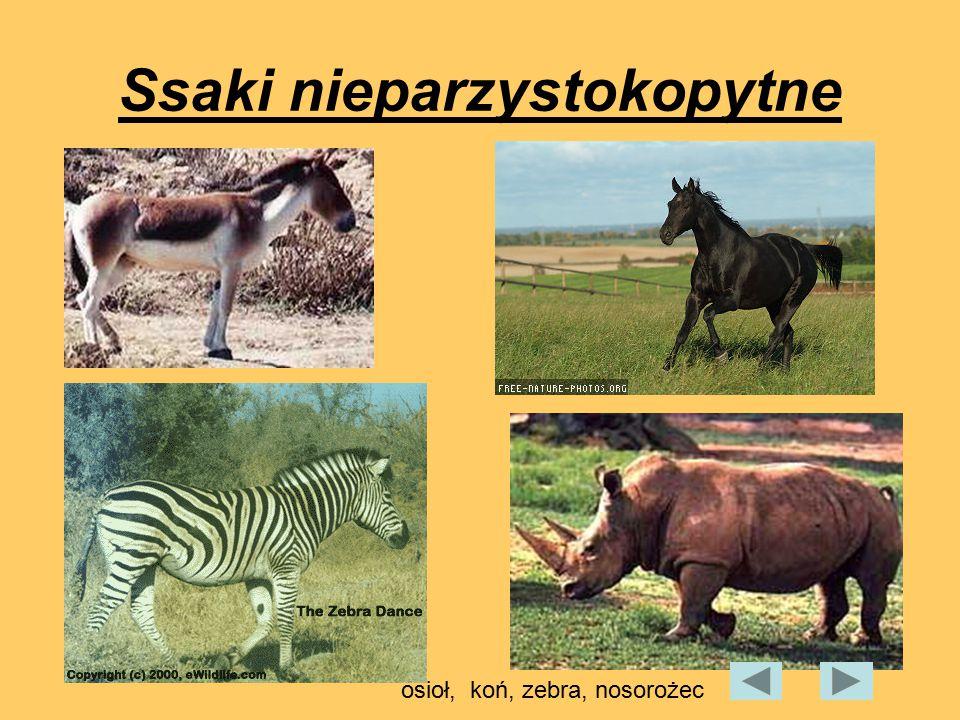 Ssaki nieparzystokopytne osioł, koń, zebra, nosorożec