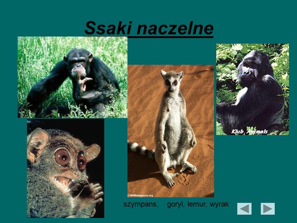 Ssaki naczelne szympans, goryl, lemur, wyrak
