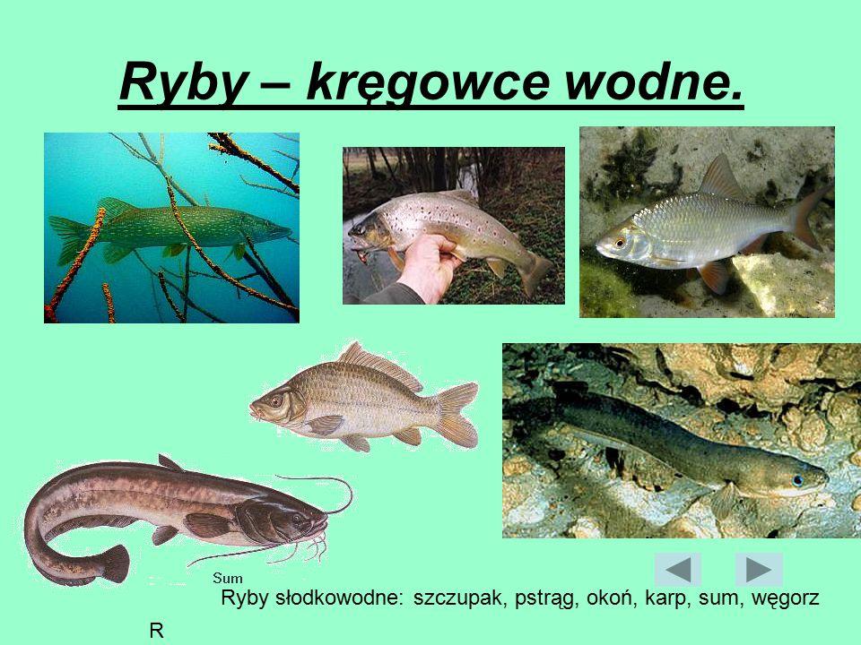 Ryby – kręgowce wodne. szczupak Ryby słodkowodneRyby słodkowodne Ryby słodkowodne: szczupak, pstrąg, okoń, karp, sum, węgorz