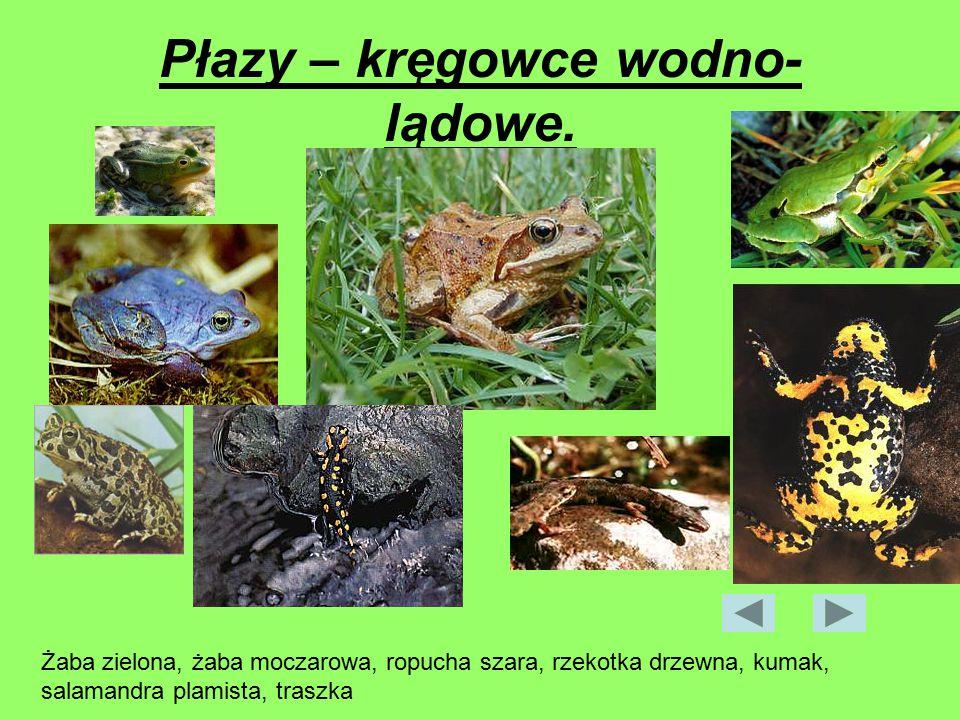 Płazy – kręgowce wodno- lądowe. Żaba zielona, żaba moczarowa, ropucha szara, rzekotka drzewna, kumak, salamandra plamista, traszka