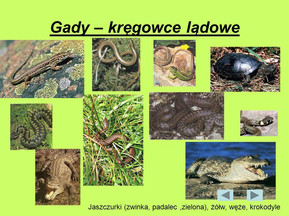 Gady – kręgowce lądowe Jaszczurki (zwinka, padalec,zielona), żółw, węże, krokodyle