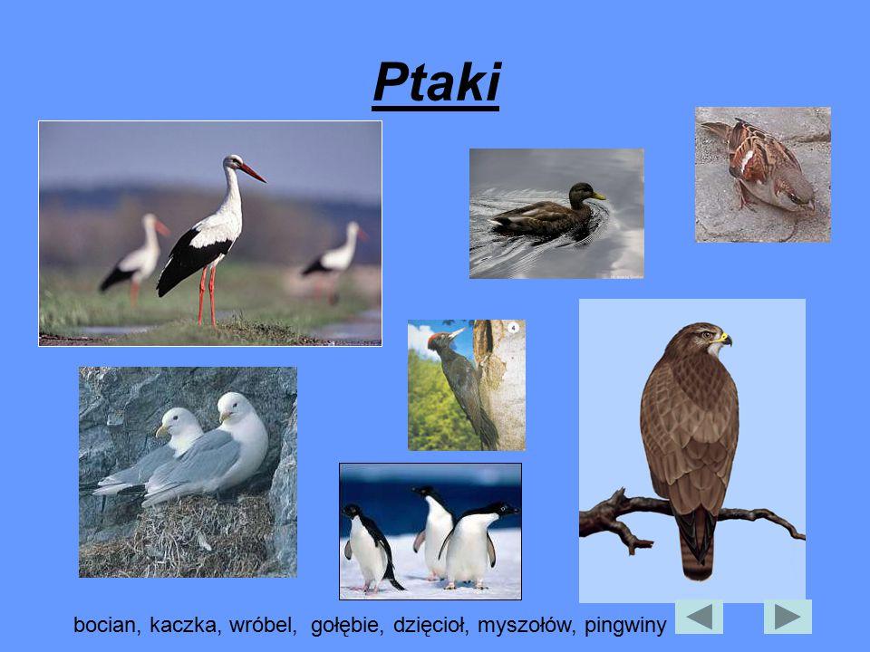 Ptaki bocian, kaczka, wróbel, gołębie, dzięcioł, myszołów, pingwiny