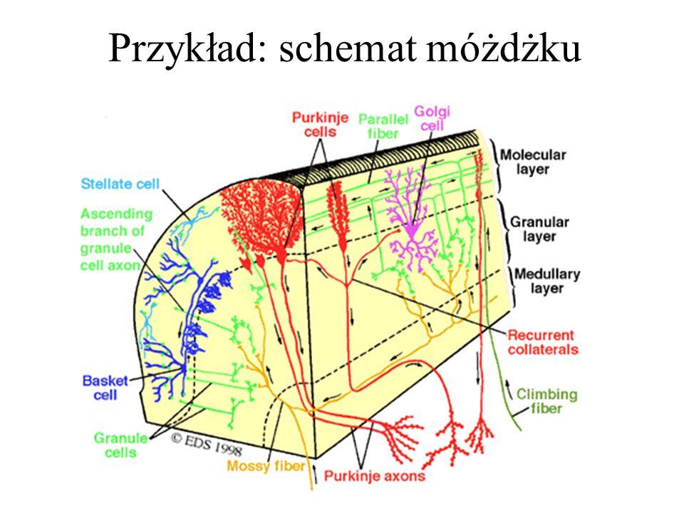 Trzeba jednak dodać, że sieci neuronowe w mózgu miewają też znacznie bardziej skomplikowaną strukturę