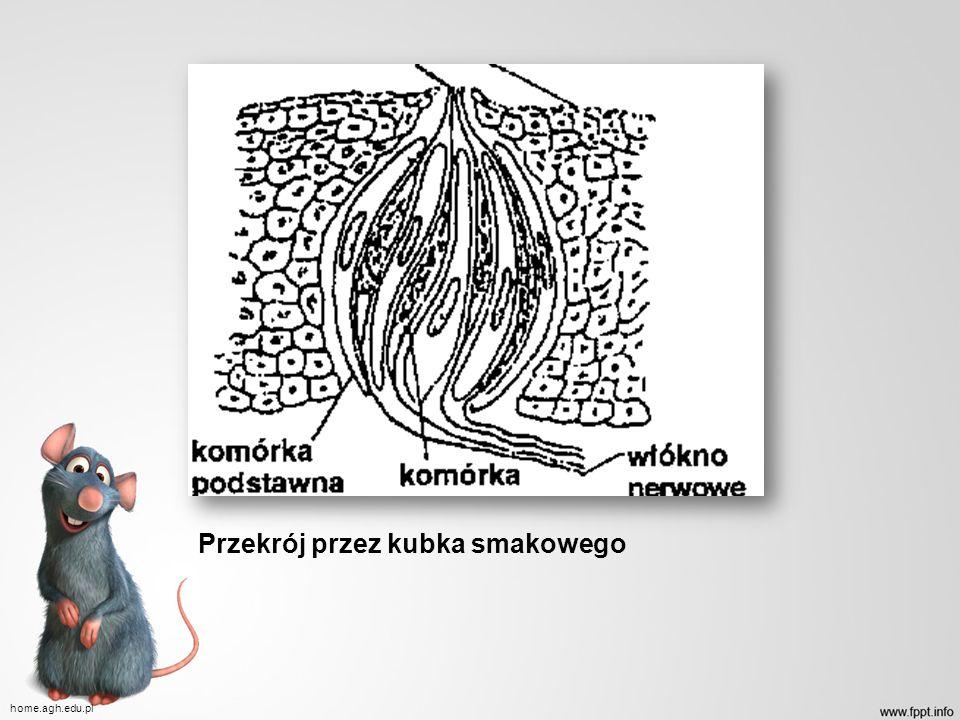 Przekrój przez kubka smakowego home.agh.edu.pl