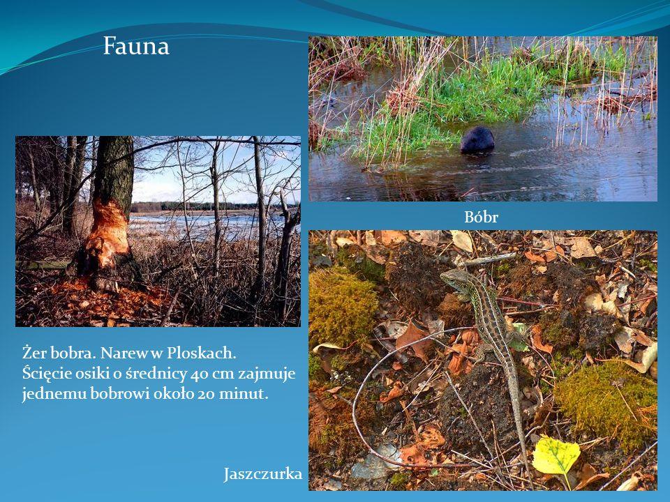 Fauna Bóbr Żer bobra. Narew w Ploskach. Ścięcie osiki o średnicy 40 cm zajmuje jednemu bobrowi około 20 minut. Jaszczurka