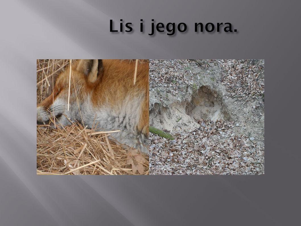 Lis i jego nora.