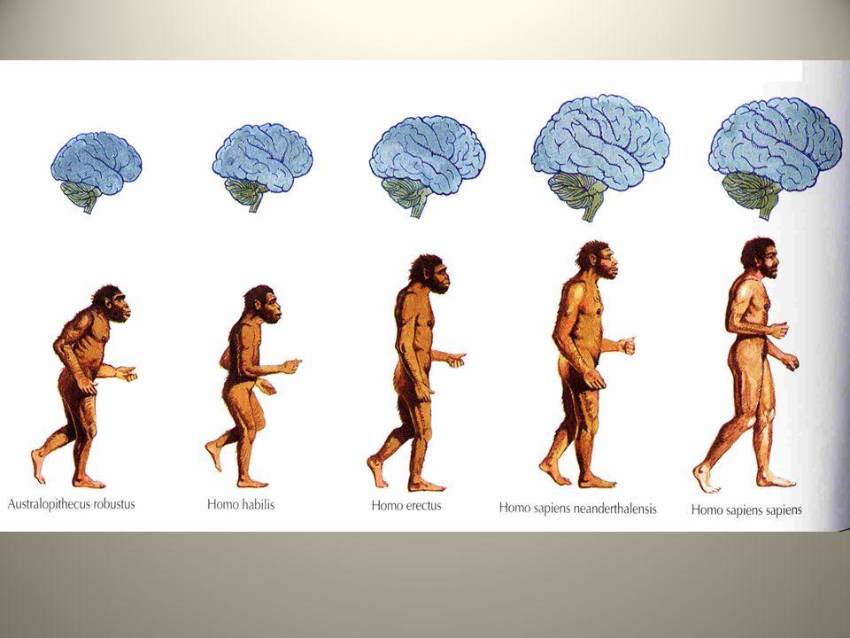 Australopitek Pierwszymi formami w linii ewolucyjnej człowieka były australopiteki, które pojawiły się około 5 mln.