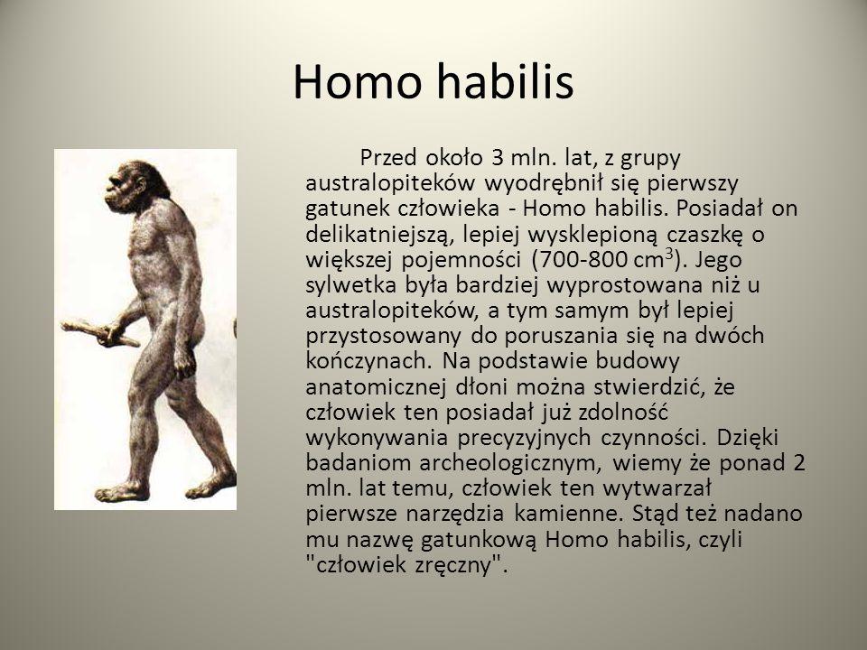 Homo habilis Przed około 3 mln. lat, z grupy australopiteków wyodrębnił się pierwszy gatunek człowieka - Homo habilis. Posiadał on delikatniejszą, lep