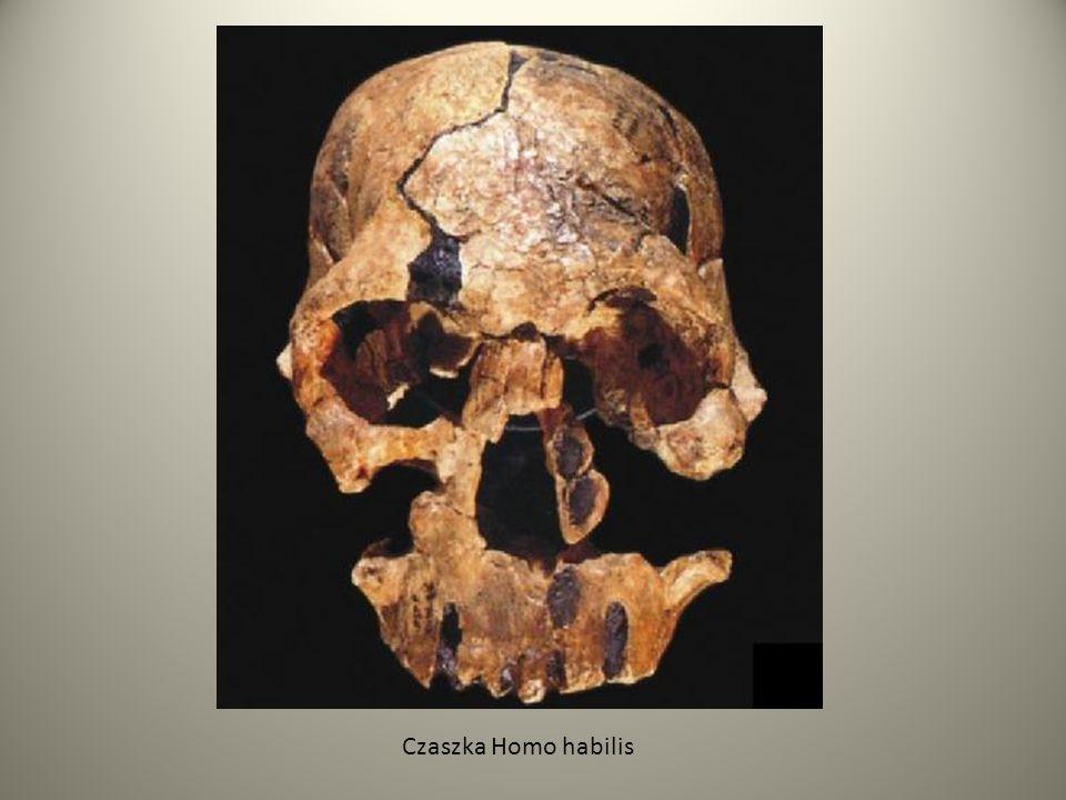 Homo erectus Kolejny gatunek człowieka - Homo erectus, pojawił się w Afryce około 1,8-2 mln.