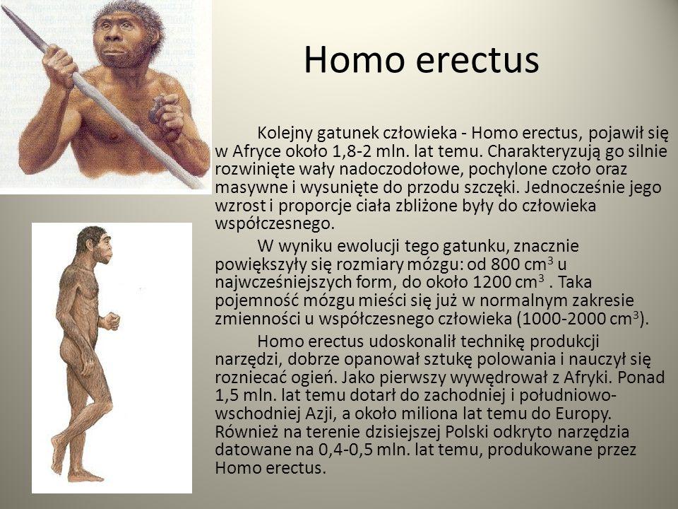 Homo erectus Kolejny gatunek człowieka - Homo erectus, pojawił się w Afryce około 1,8-2 mln. lat temu. Charakteryzują go silnie rozwinięte wały nadocz