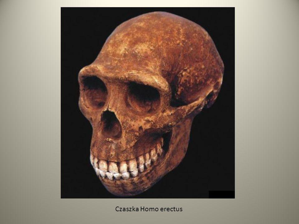 Neandertalczyk W okresie 600-300 tys.