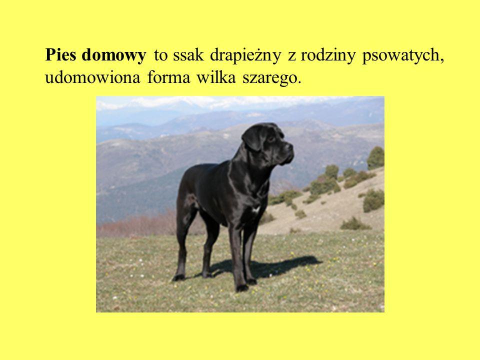 Pies domowy to ssak drapieżny z rodziny psowatych, udomowiona forma wilka szarego.