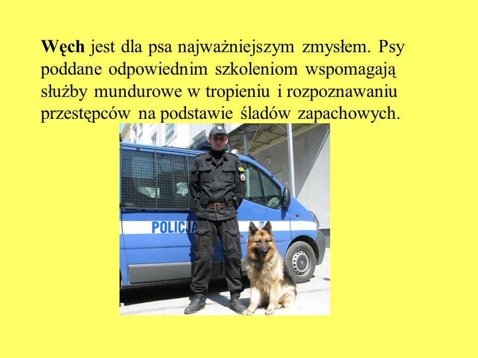 Węch jest dla psa najważniejszym zmysłem. Psy poddane odpowiednim szkoleniom wspomagają służby mundurowe w tropieniu i rozpoznawaniu przestępców na po