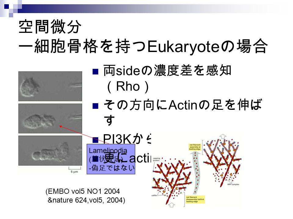 空間微分 ー細胞骨格を持つ Eukaryote の場合 両 side の濃度差を感知 ( Rho ) その方向に Actin の足を伸ば す PI3K から PH domain へ 更に actin 重合 (EMBO vol5 NO1 2004 &nature 624,vol5, 2004) Lam