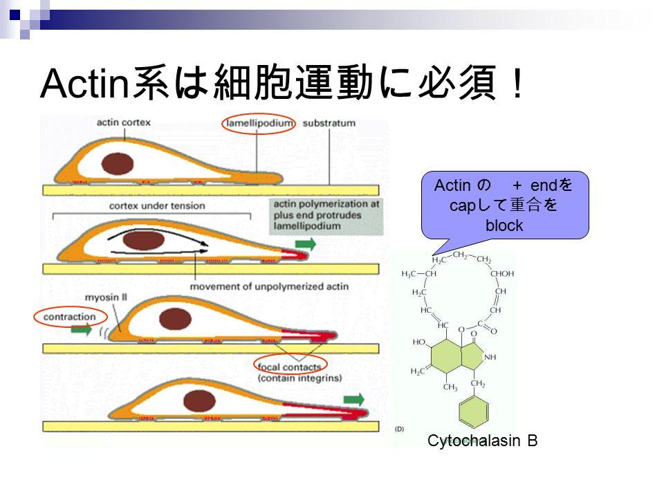 Actin 系は細胞運動に必須! Actin の + end を cap して重合を block Cytochalasin B