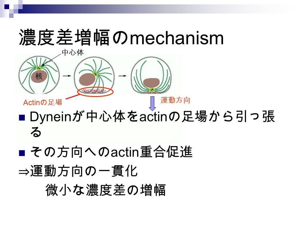 濃度差増幅の mechanism Dynein が中心体を actin の足場から引っ張 る その方向への actin 重合促進 ⇒運動方向の一貫化 微小な濃度差の増幅 核 中心体 運動方向 Actin の足場