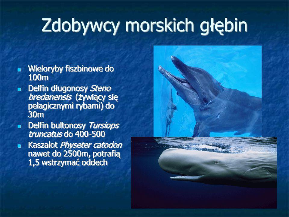 Zdobywcy morskich głębin Wieloryby fiszbinowe do 100m Wieloryby fiszbinowe do 100m Delfin długonosy Steno bredanensis (żywiący się pelagicznymi rybami