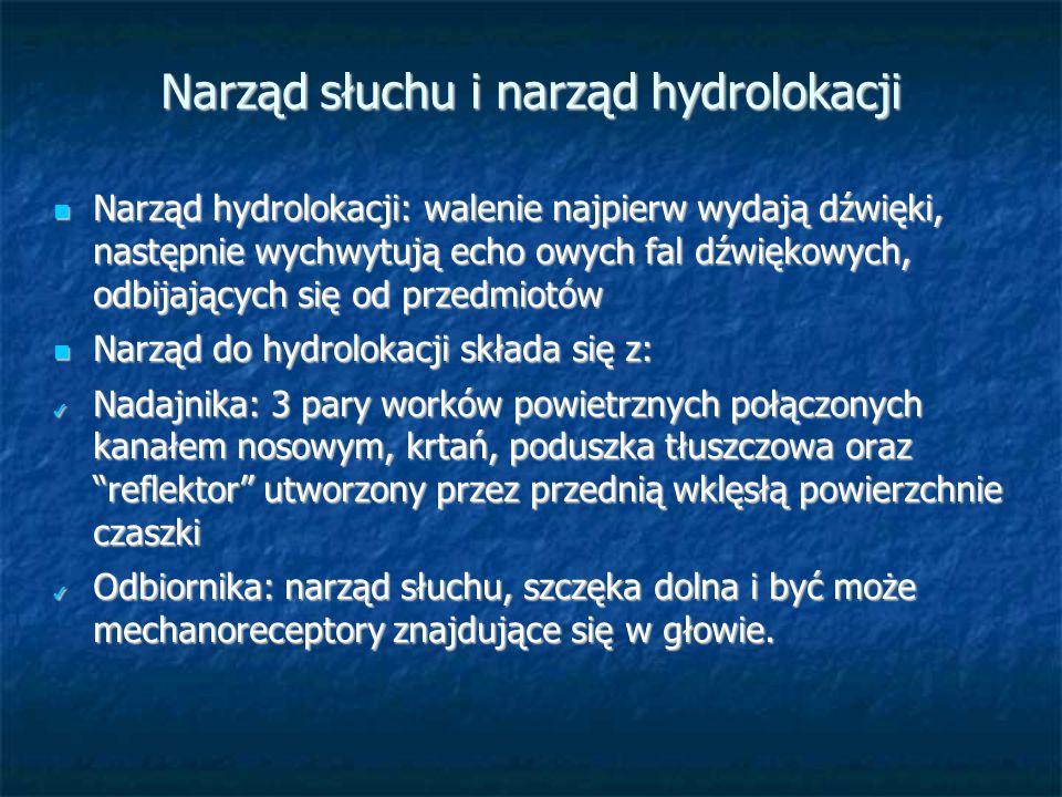 Narząd słuchu i narząd hydrolokacji Narząd hydrolokacji: walenie najpierw wydają dźwięki, następnie wychwytują echo owych fal dźwiękowych, odbijającyc