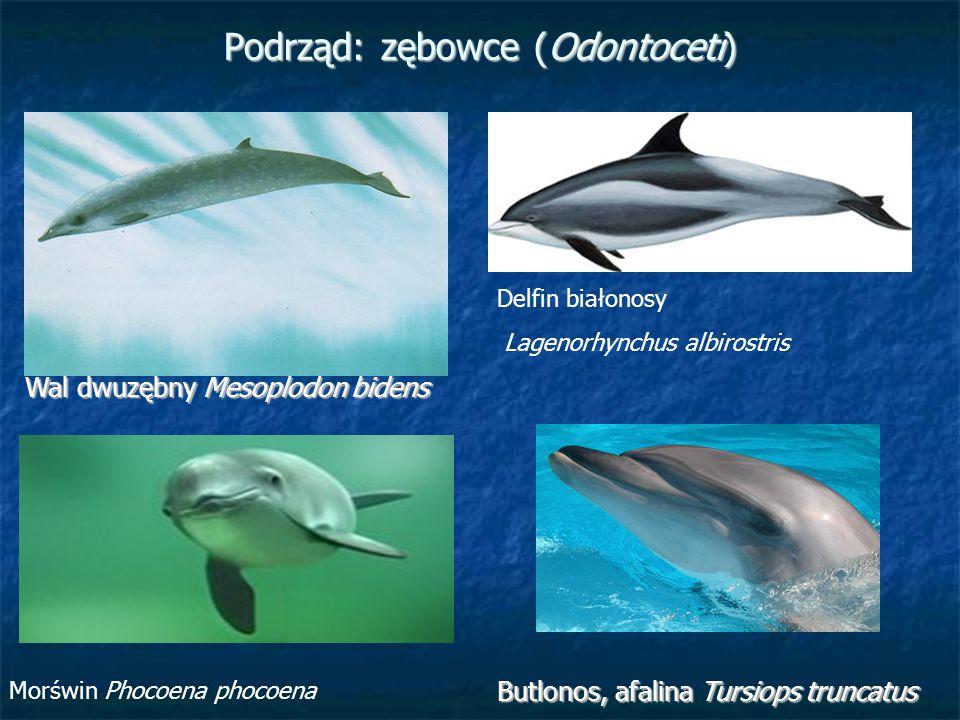Podrząd: zębowce (Odontoceti) Wal dwuzębny Mesoplodon bidens Delfin białonosy Lagenorhynchus albirostris Butlonos, afalina Tursiops truncatus Morświn