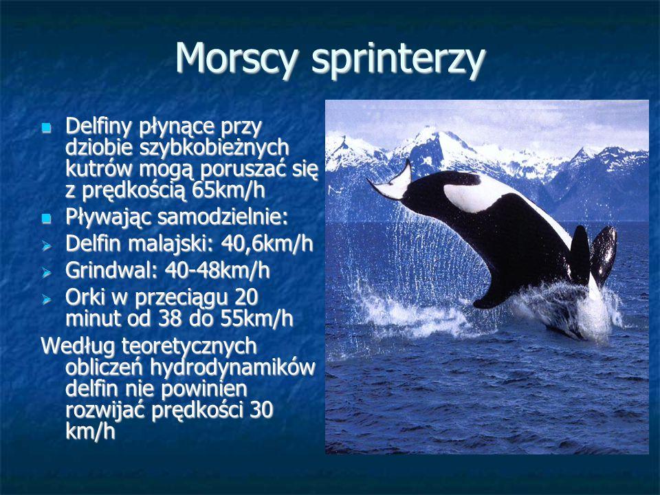Morscy sprinterzy Delfiny płynące przy dziobie szybkobieżnych kutrów mogą poruszać się z prędkością 65km/h Delfiny płynące przy dziobie szybkobieżnych