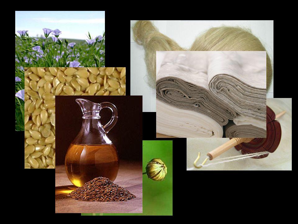 Cel projektu uzyskanie lnu o zwiekszonych wlaściwościach antyoksydacyjnych  spowolnienie/ zahamowanie procesu jełczenia tłuszczy ustalenie znaczenia flawonoidów oraz kontrolowana manipulacja ich syntezą w celu podwyższenia odporności roślin na stres środowiskowy, choroby oraz szkodniki