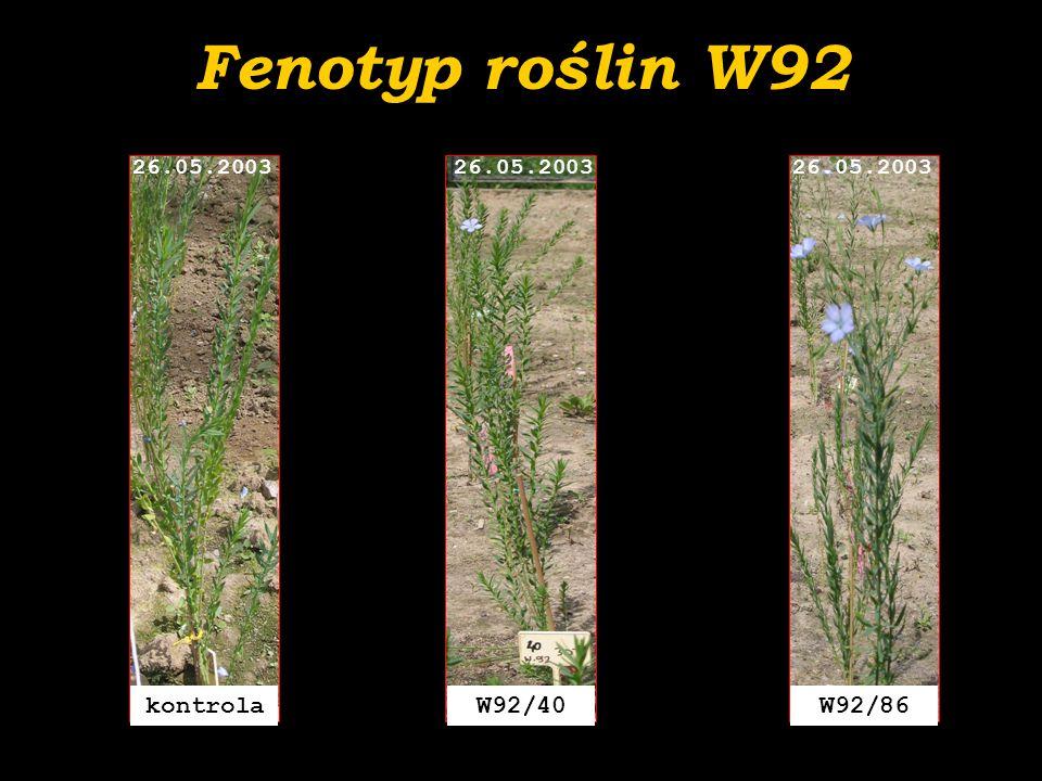 Fenotyp roślin W92 W92/40 26.05.2003 kontrola 26.05.2003 W92/86 26.05.2003