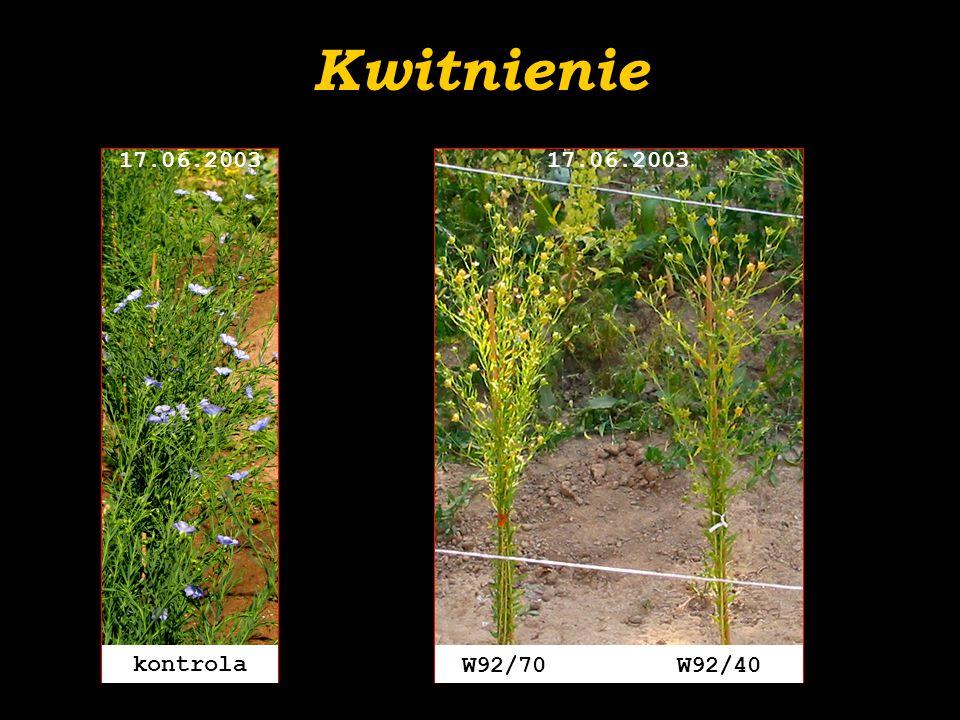 Kwitnienie W92/70 W92/40 17.06.2003 kontrola 17.06.2003