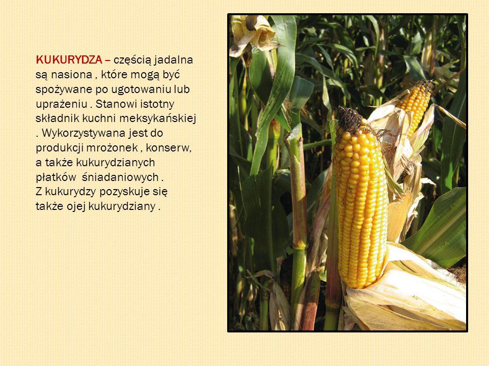 KUKURYDZA – częścią jadalna są nasiona, które mogą być spożywane po ugotowaniu lub uprażeniu. Stanowi istotny składnik kuchni meksykańskiej. Wykorzyst